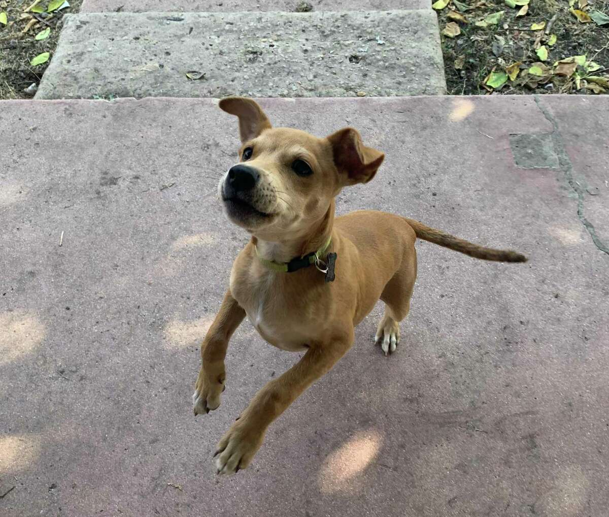 Rocky, now three weeks into settling at his new home, leaps for a treat.