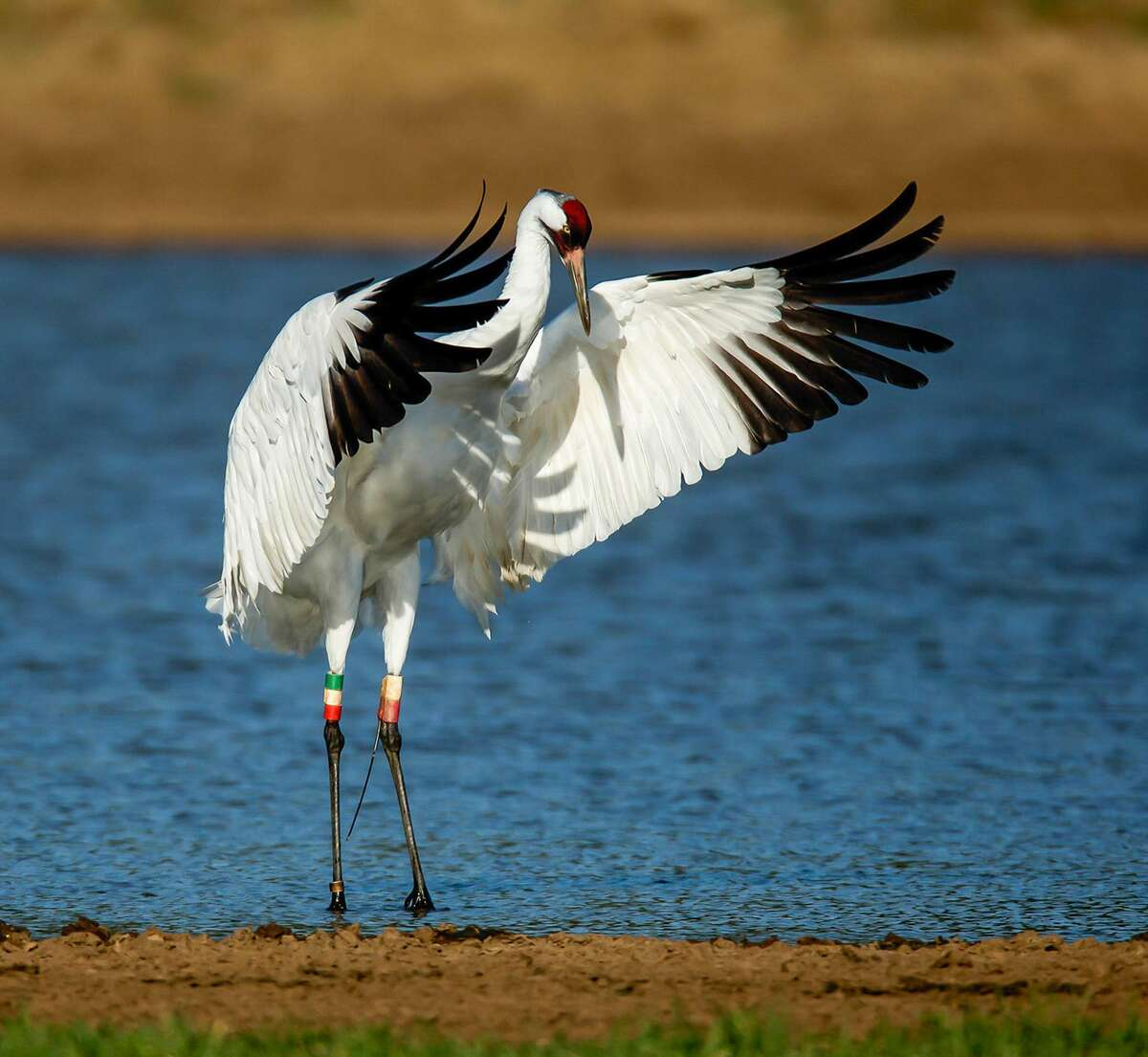 Whooping cranes are an endangered species.