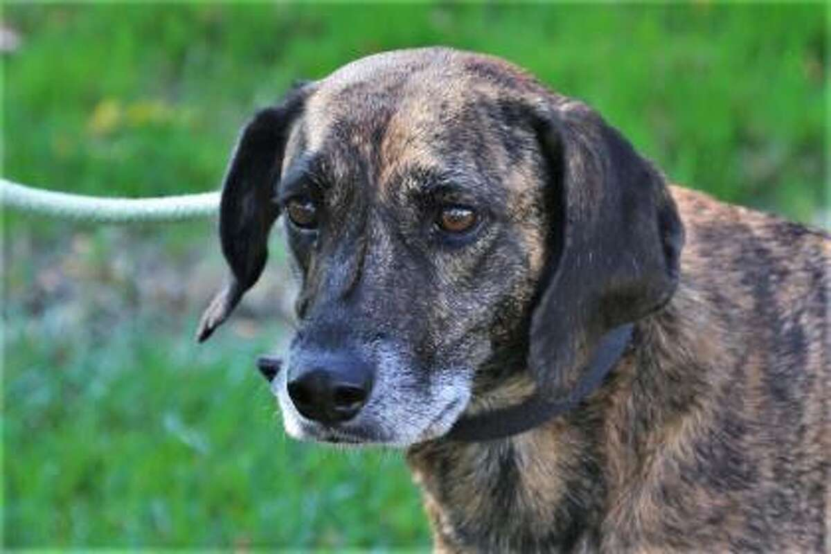 Riley is a 7-year-old female hound mix at our Westport location. This girl loves to be busy with her nose. She would love to explore her world with another dog in the family, but she does need a cat-free home. Riley can live in a single family home or condo and her family may include dog-savvy kids over age 10 who are gentle and respectful of pets. This girl is calm but she will need to get some exercise every day. Riley has lots of potential to be a great family dog. We recommend a family with general dog experience. Remember, the Connecticut Humane Society has no time limits for adoption. Applications for adoption can be obtained at https://cthumane.org/adopt/all-adoptable-pets/. To learn more about operations during COVID-19, go to https://cthumane.org/adopt/adoption-process/.