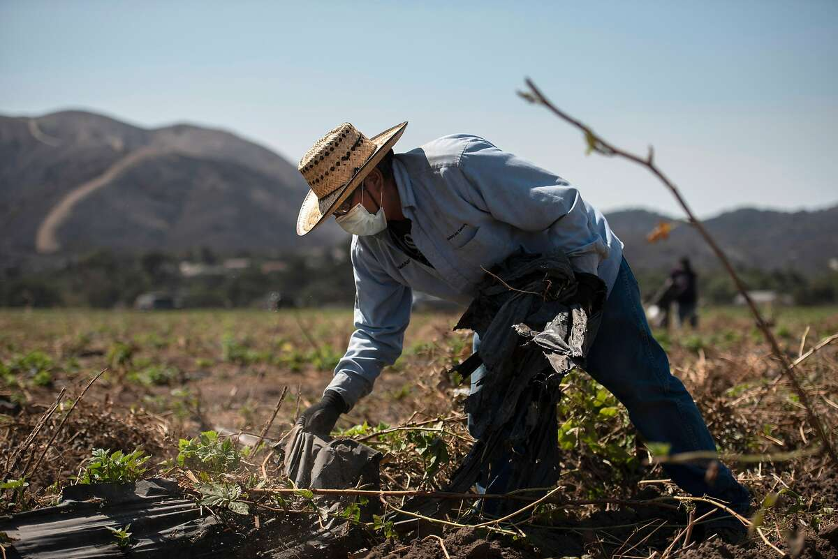 A masked worker pulls tarps up from raspberry fields in Salinas in front of a burnt mountain on Aug. 25, 2020.