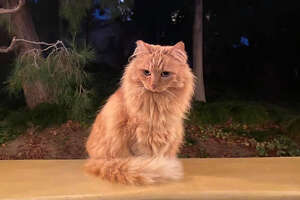 "One of Disneyland's ""community cats"" in Disney's California Adventure"
