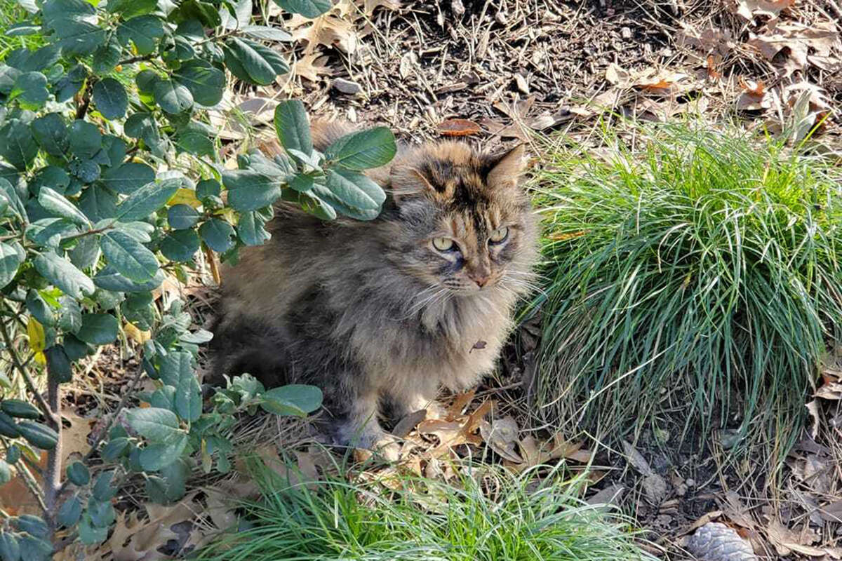 The Disneyland cat that lives by Grizzly River Run in Disney's California Adventure.