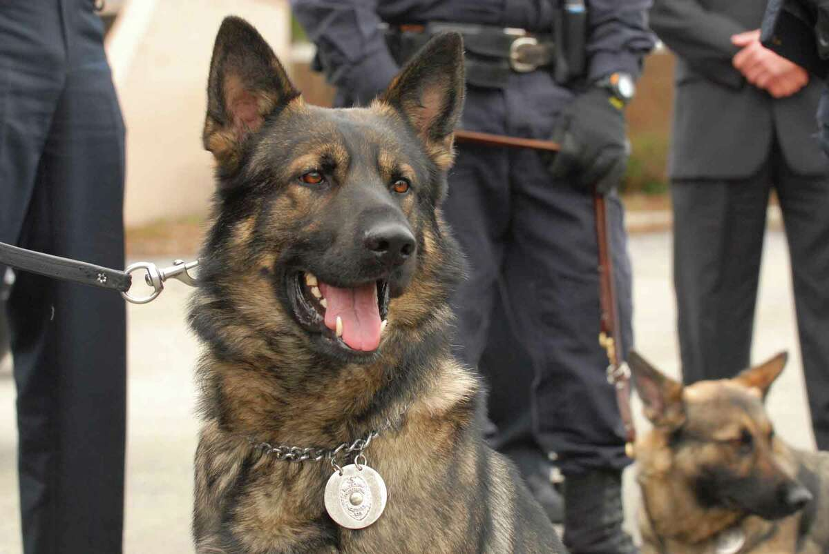 Schenectady Police K9s Vert,left, and Thor in front of police headquarters in Schenectady, New York 03/23/2010. (Michael P. Farrell/Times Union)