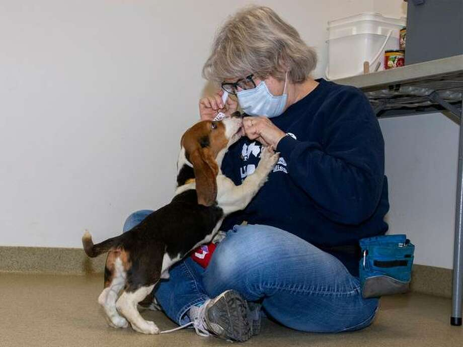 A volunteer at the Humane Society of Missouri tends to one of the 55 dogs recently rescued from a Franklin County, Missouri breeder. The dogs will be available for adoption individually; for details visit the group's website at www.hsmo.org.