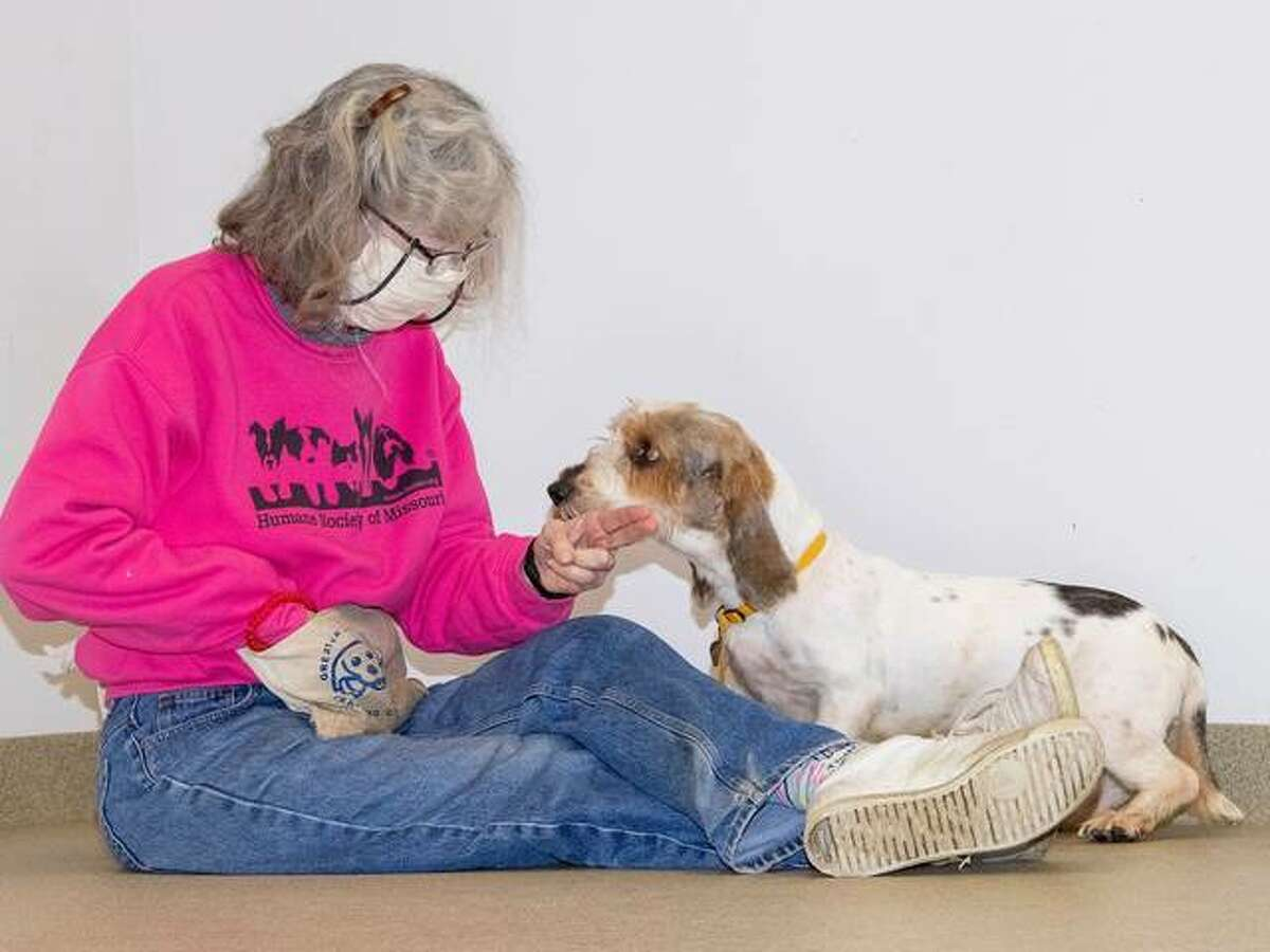 More photos of the basset hounds recently rescued by the Humane Society of Missouri.