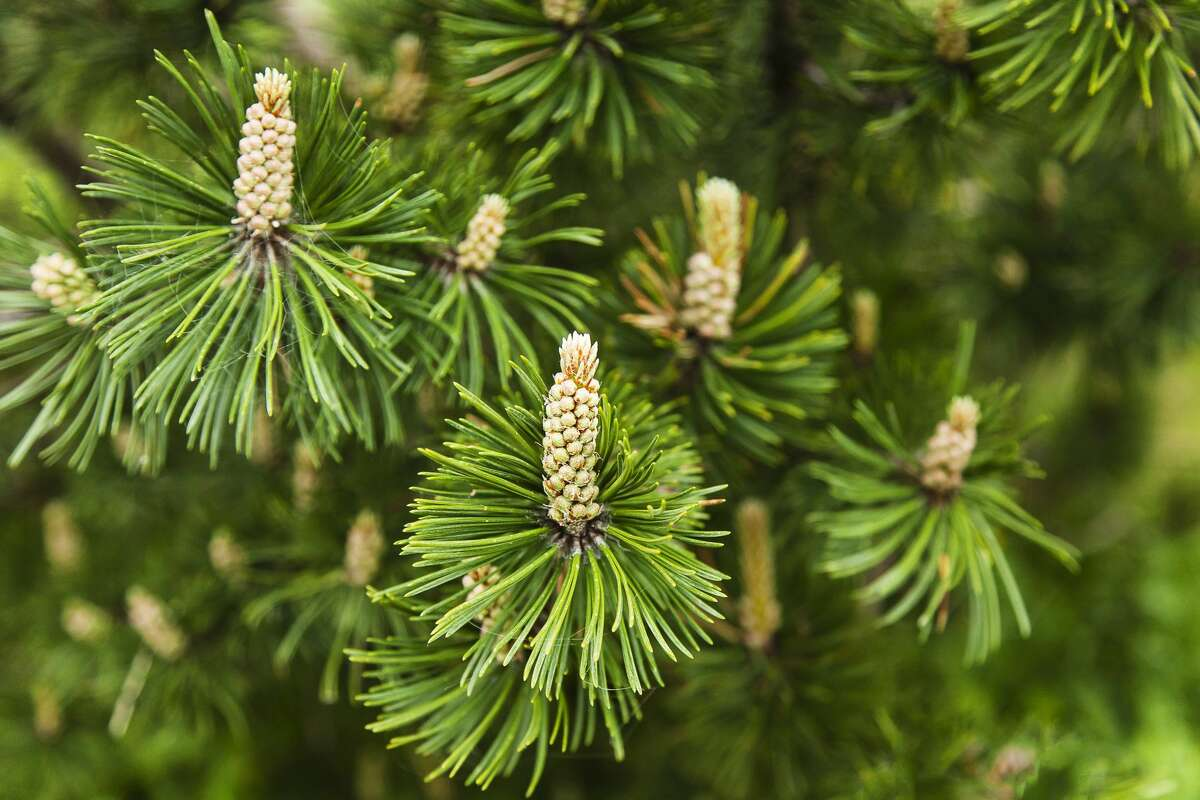 Full frame shot of branches of mugo pine on springtime. A species of conifer native to high elevation habitats from Southwestern to Central Europe and Southeast Europe, Pinus mugo is also known as bog pine, creeping pine, dwarf mountain pine, mugo pine, mountain pine, scrub mountain pine, or Swiss mountain pine.