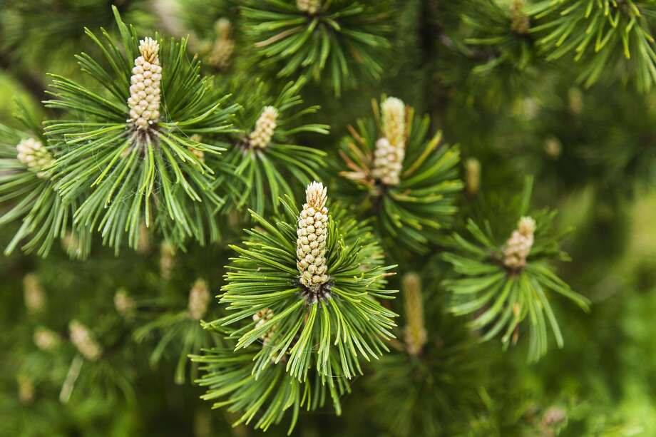 Full frame shot of branches of mugo pine on springtime. A species of conifer native to high elevation habitats from Southwestern to Central Europe and Southeast Europe, Pinus mugo is also known as bog pine, creeping pine, dwarf mountain pine, mugo pine, mountain pine, scrub mountain pine, or Swiss mountain pine. Photo: Massimo Ravera/Getty Images / Copyright: Massimo Ravera