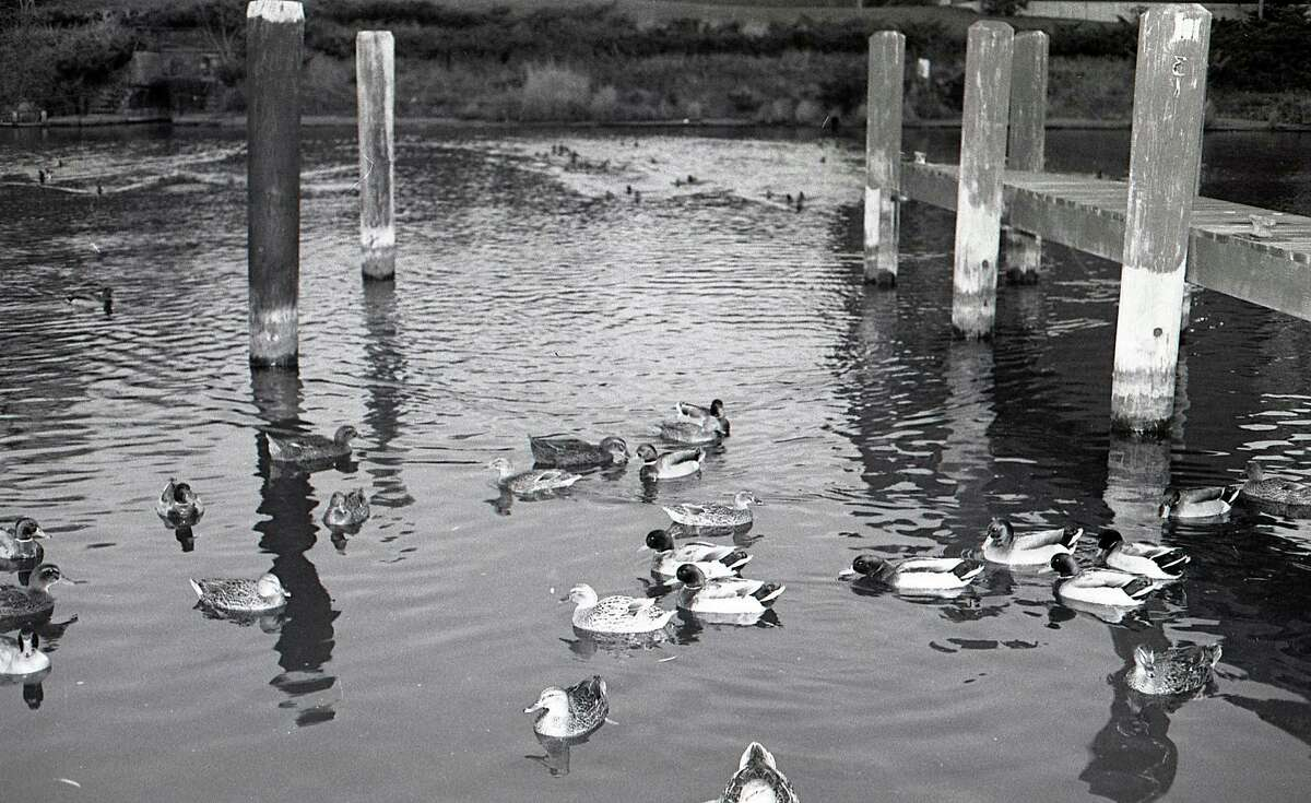 """From the Nov. 18, 1980 issue of the News Advocate, """"The bite of winter has been in the air the past few days, but that hasn't fazed Manistee's gang of mallards. This squadron of beggars, instead of following the flyways south, is still hanging around town hoping for some free handouts."""""""