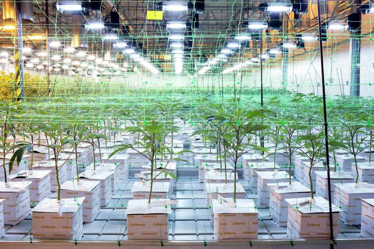 Marijuana grows at the Harmony Dispensary in Secaucus, N.J.