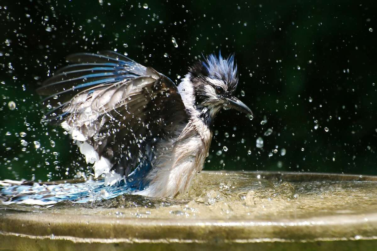 A blue jay splashes in the cooling water of a bird bath to wash away dirt and parasites from feathers.