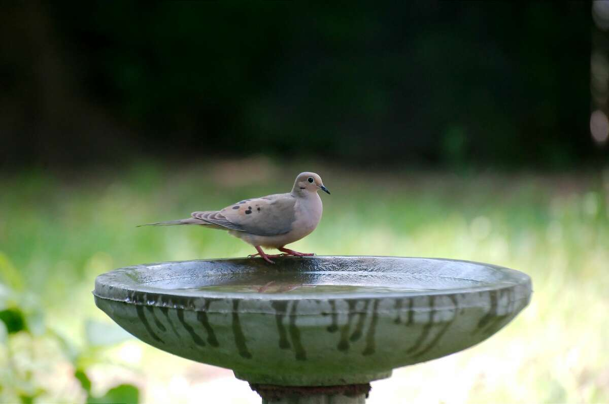 A mourning dove stops by a bird bath for a drink
