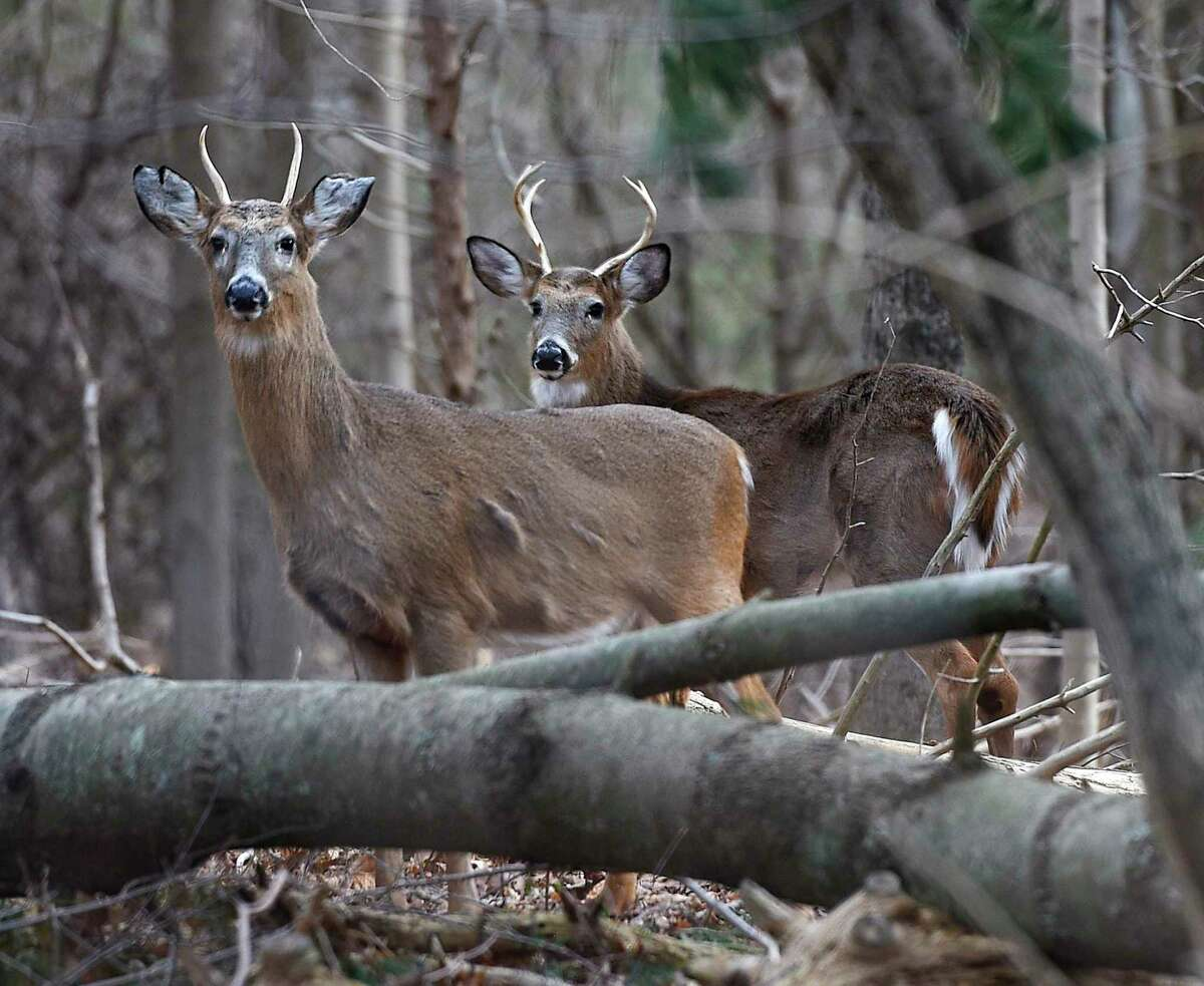 A file photo of two white-tailed deer, roaming in Greenwich, Conn.