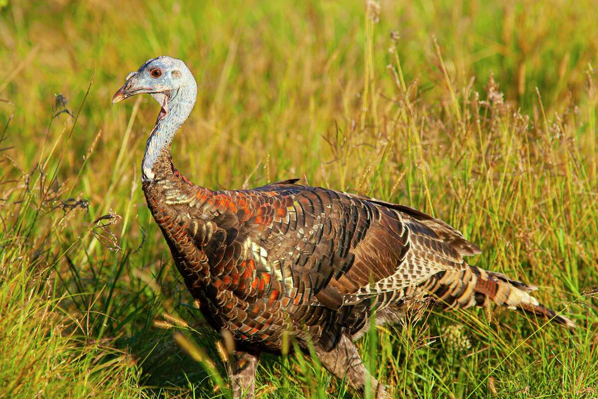 Native Americans not only hunted wild turkeys but also domesticated them. Photo Credit: Kathy Adams Clark. Restricted use.