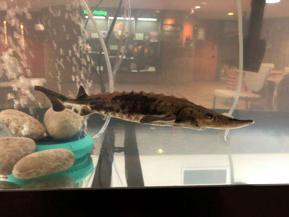 Chippewa Nature Center'syoung lake sturgeon arrived in mid-October, and is from the Black Lake watershed in northern Michigan. CNC has special permits enabling it to have the sturgeon, and will host it at least through summer 2021. (Photo provided/Chippewa Nature Center)