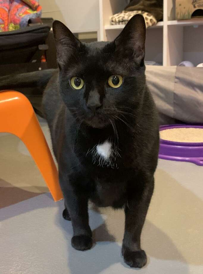 Kimmie, a kitty mom of seven, deserves her own home. She is at the ROAR Donofrio Animal Shelter in Ridgefield, and can be met via an appointment by calling the shelter at (203) 438-0158. Photo: ROAR Donofrio Animal Shelter / Contributed Photo