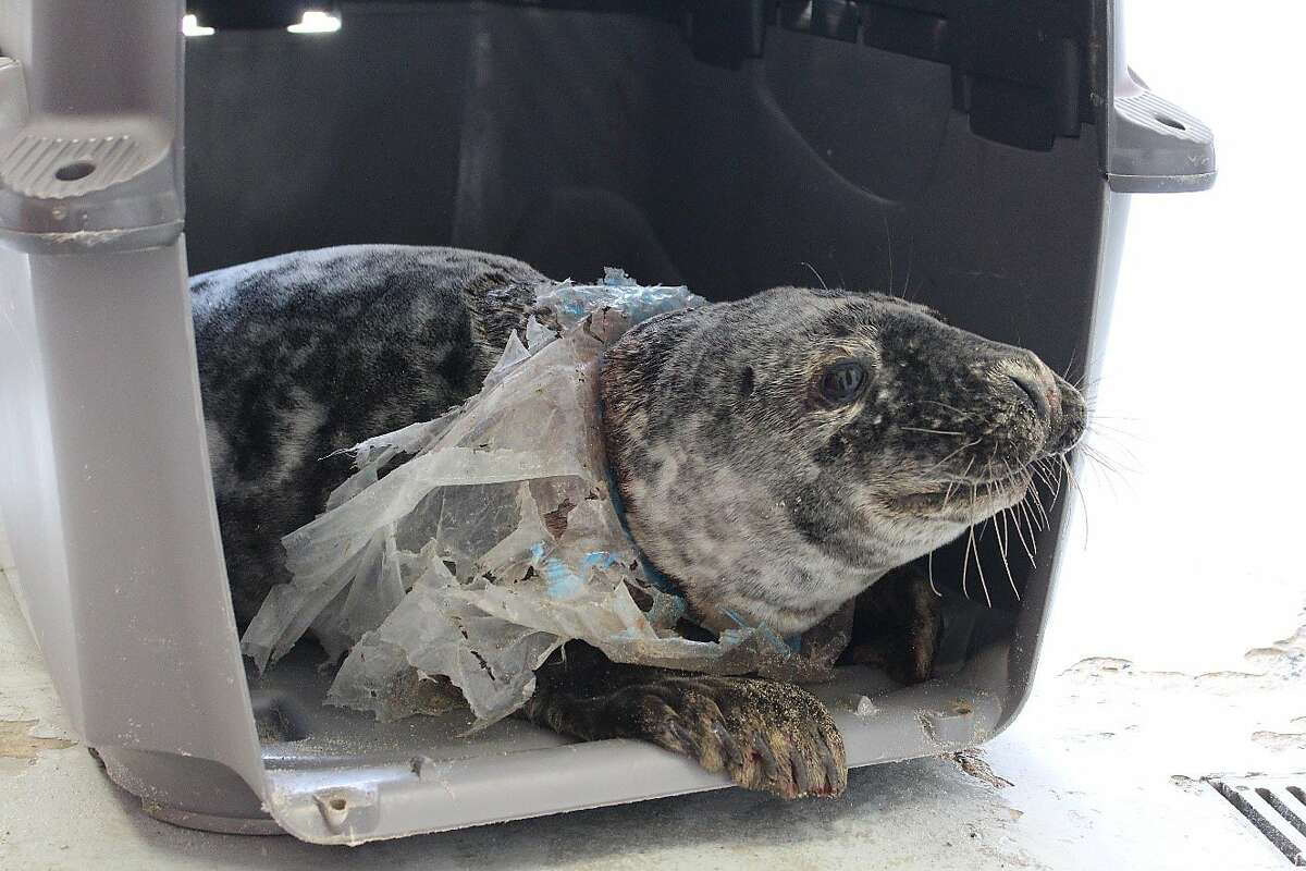 A rescued gray seal entangled in a plastic bag.