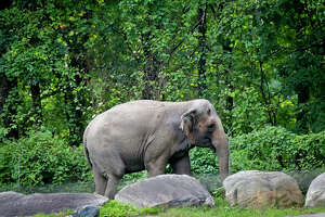 """Bronx Zoo elephant Happy strolls inside the zoo's Asia display, Tuesday Oct. 2, 2018, in New York. An animal welfare group has brought a legal action against the Bronx Zoo on behalf of Happy, who was separated from the zoo's two other elephants after they fatally injured her mate, arguing that the animal has similar rights to a human being and is being """"unlawfully imprisoned."""" (AP Photo/Bebeto Matthews)"""