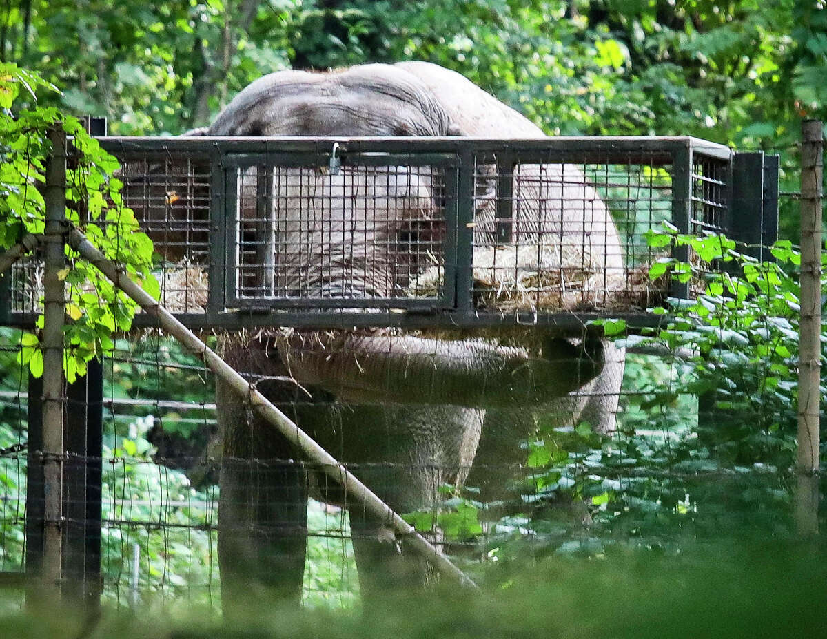 """FILE - In this Oct. 2, 2018 file photo, Bronx Zoo elephant """"Happy"""" feeds inside the zoo's Asia habitat in New York. On Tuesday, Feb. 18, 2020, animal rights advocates have lost a bid seeking to get Happy declared to have human-like rights and transferred to a sanctuary, though a judge said the case for sending the pachyderm to a sanctuary was """"extremely persuasive."""" Judge Allison Tuitt dismissed the Nonhuman Rights Project's petition arguing that Happy the elephant is """"unlawfully imprisoned"""" at the zoo where she has lived since 1977."""