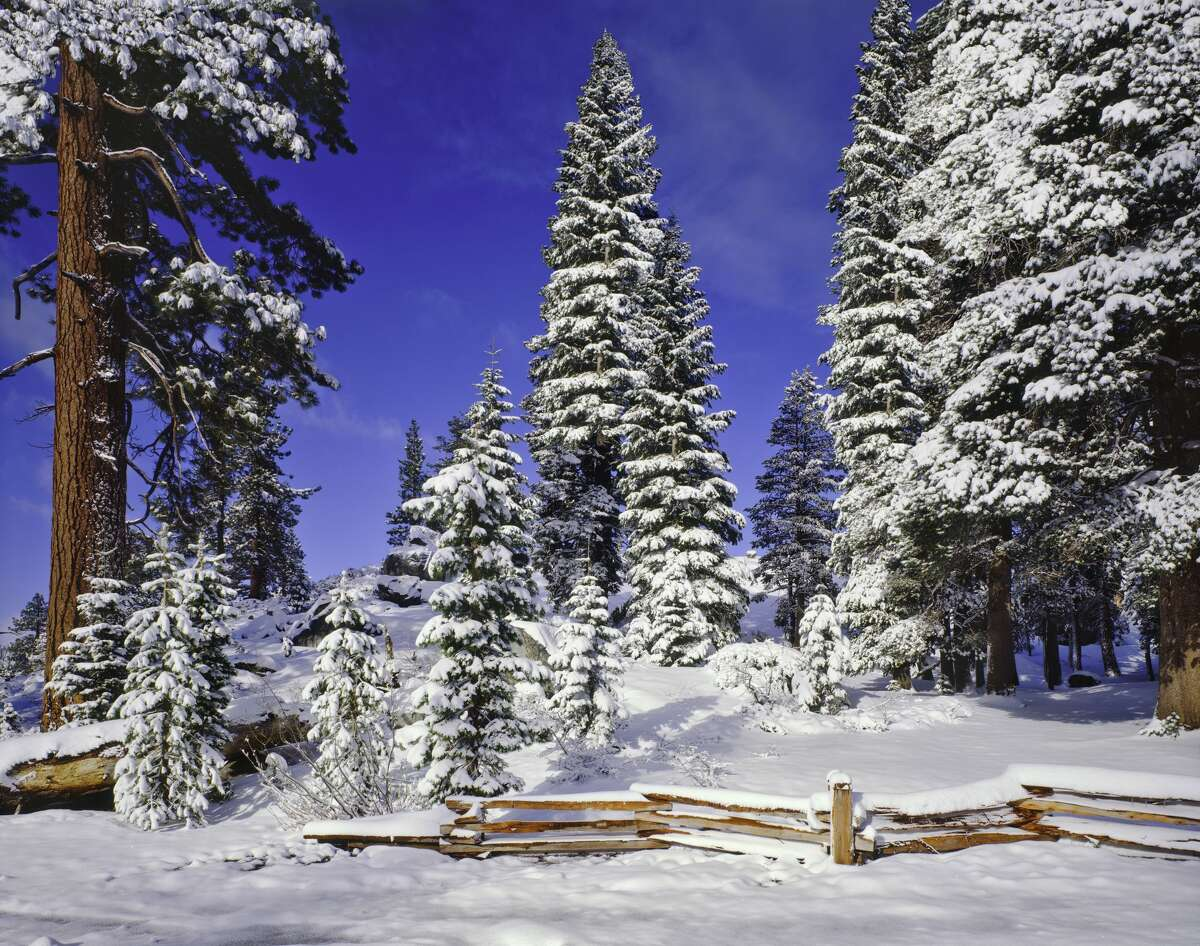Snow-covered pines in the Tahoe National Forest.