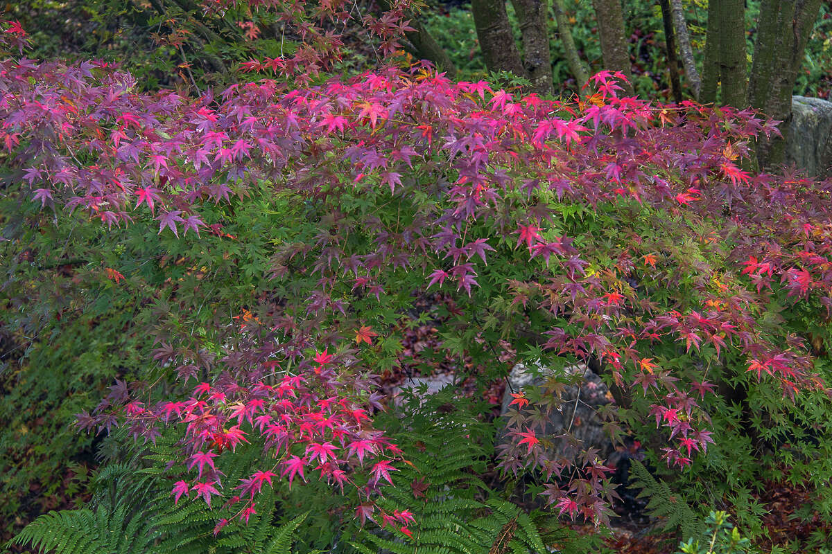 There is little natural fall color in the Bay Area, but you can view stunning Japanese maple at the UC Berkeley Botanical Garden.