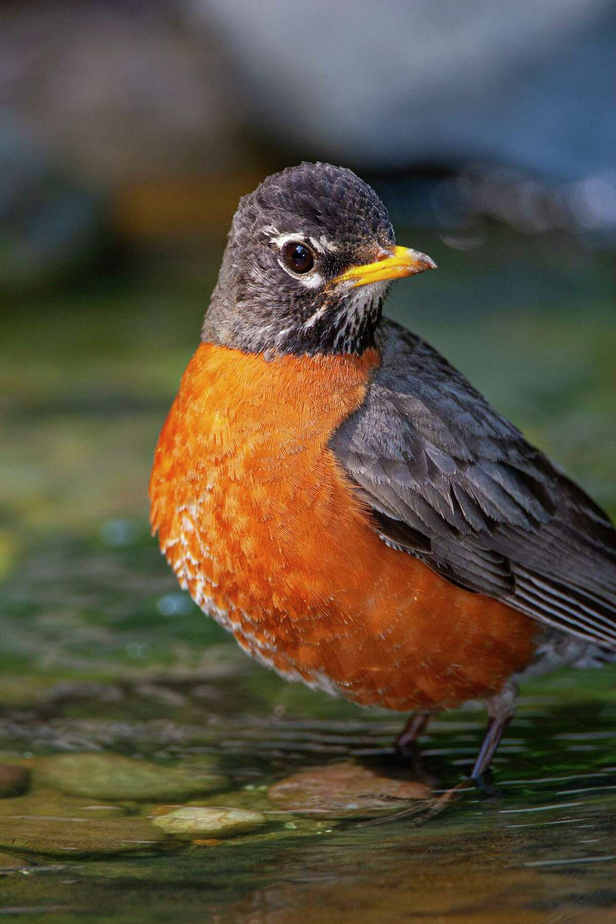 Nomadic American robins join the resident population to form large flocks.