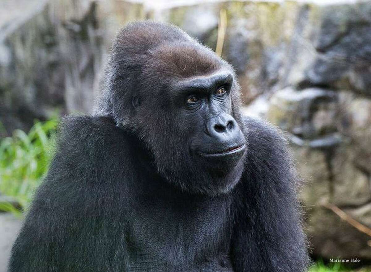 A 39-year-old Western lowland gorilla named Zura has died at San Francisco Zoo. She joined the zoo in 1982 and has been