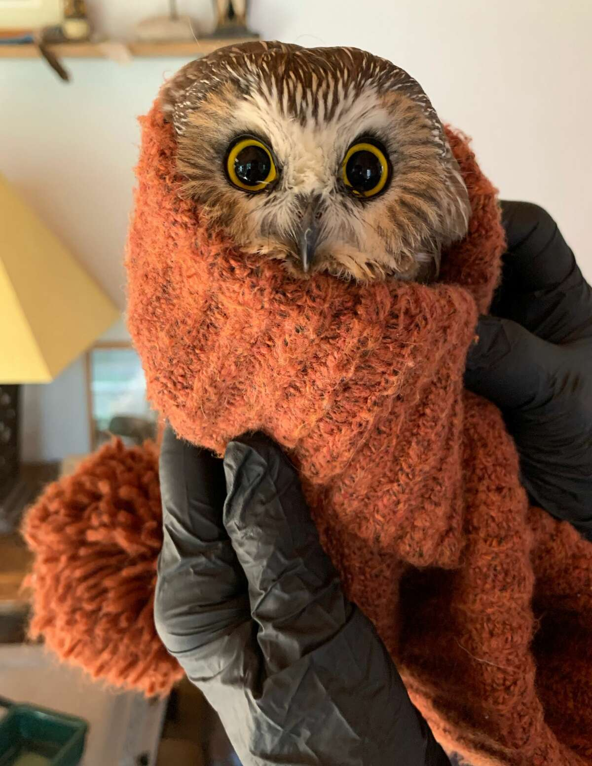 In this photo provided by the Ravensbeard Wildlife Center, Ravensbeard Director and founder Ellen Kalish holds a Saw-whet owl at the center in Saugerties, N.Y., Wednesday, Nov. 18, 2020. A worker helping to get the Rockefeller Center Christmas tree in New York City found the tiny owl among the tree's massive branches on Monday, Nov. 16. Now named Rockefeller, the owl was brought to the Ravensbeard Wildlife Center for care. (Lindsay Possumato/Ravensbeard Wildlife Center via AP)