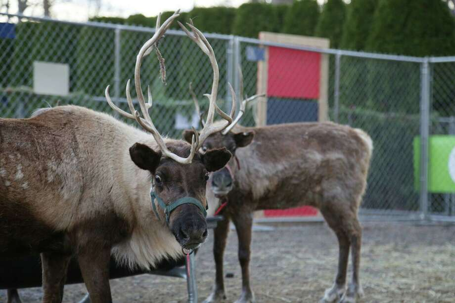 The Greenwich Reindeer Festival, seen here in 2016, will not have Santa Claus visiting this year due to the pandemic, but people will still be able to see reindeer at Sam Bridge Nursery and Greenhouses starting Nov. 27. Photo: Greenwich Reindeer Festival / Contributed Photo / Contributed Photo / Connecticut Post Contributed