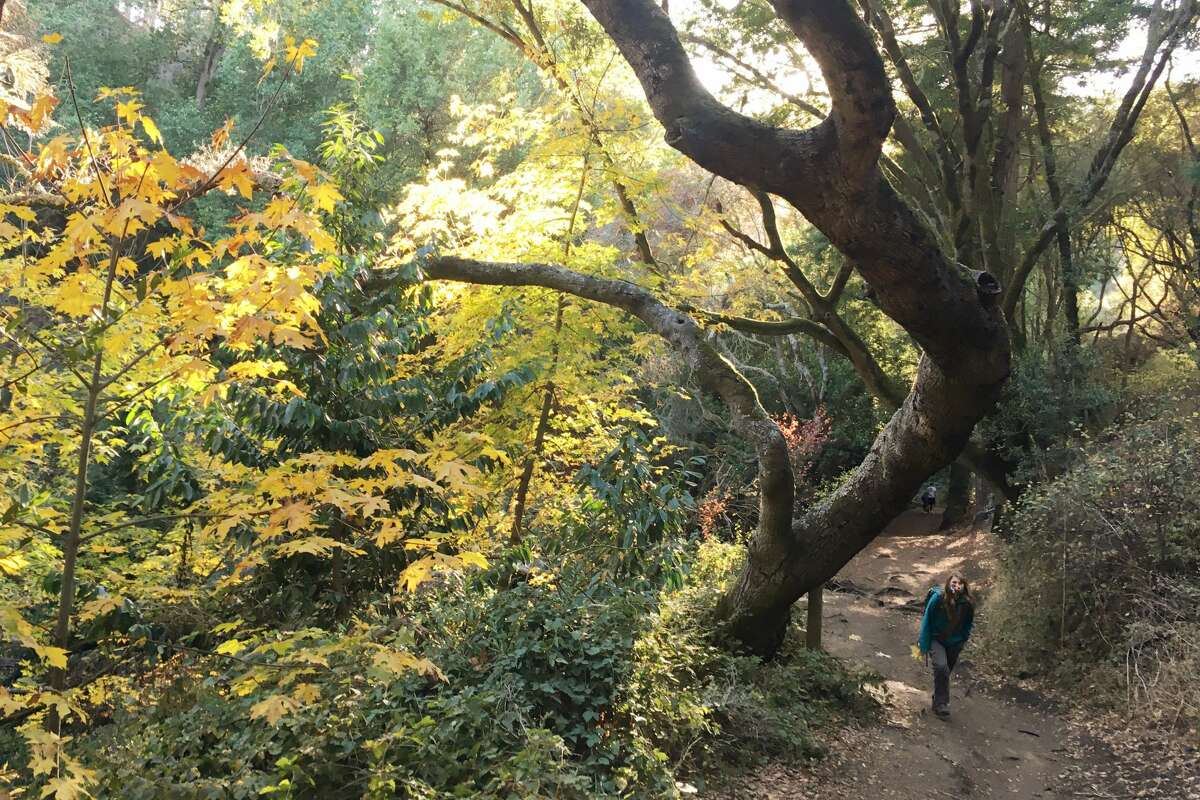 Fall colors are plentiful along the Wildcat Canyon trail in Tilden Park in Berkeley, California.