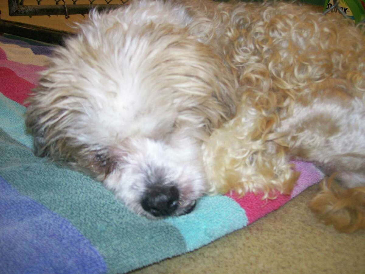 """Biggie, a shih-tzu """"These procedures are ... necessary to provide these animals with a pain-free existence and better quality of life,"""" Figueroa wrote. """"It will allow them to be adopted to loving homes that they so very much deserve."""" """"It really isn't fair to someone to ask them to adopt a pet, and then have to spend thousands of dollars more in medical care,"""" said Dellabianca. Dellabianca said some of the animals already had the surgery performed and any funds raised would be used to reimburse the animal control budget. Despite their pain and neglected backgrounds, Dellabianca said the four seemed to have retained gentle dispositions. """"One of the dogs had an ulcerated eye that had to be removed,"""" she said. """"His other eye already had been removed, and this one was infected and painful. The vet said he already doesn't see out of it, so it was best to remove it."""" The dog, an older Shih Tzu that the staff has named Biggie, also suffers from advanced arthritis but still seems to enjoy life, she said. """"He gets up every day and he wants to eat,"""" she said."""