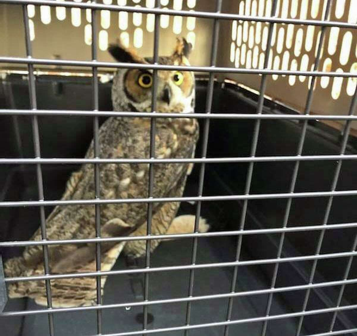 Danbury, Conn., firefighters rescued this owl after it got a talon trapped in netting near the driving range at a golf course.
