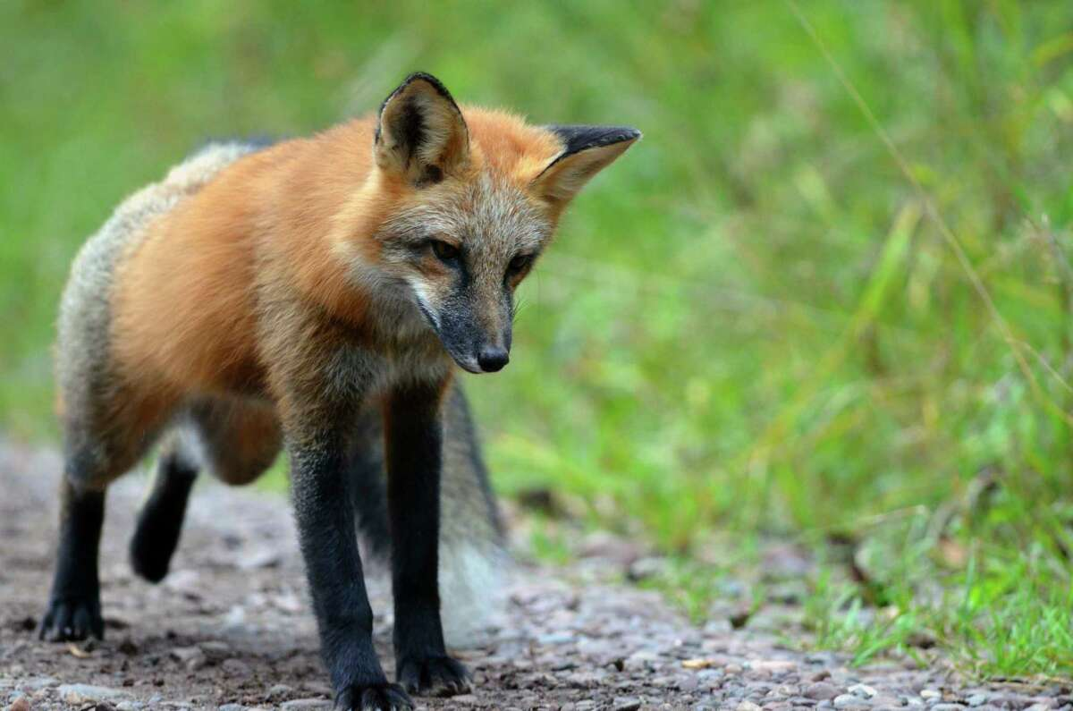 A red fox walks along the edge of a graveled forest road. (Courtesy photo/Michigan Department of Natural Resources)