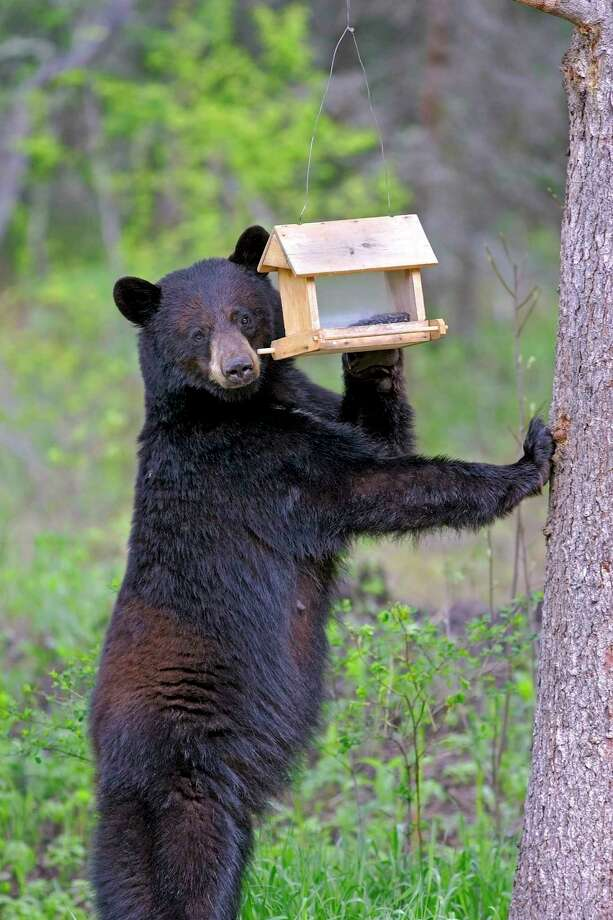 Northern Michigan residents should be aware thatblack bears are still active throughout the fall as they prepare for hibernation and search for foods rich in calories to build up their fat reserves. (Courtesy photo) / ShutterStock