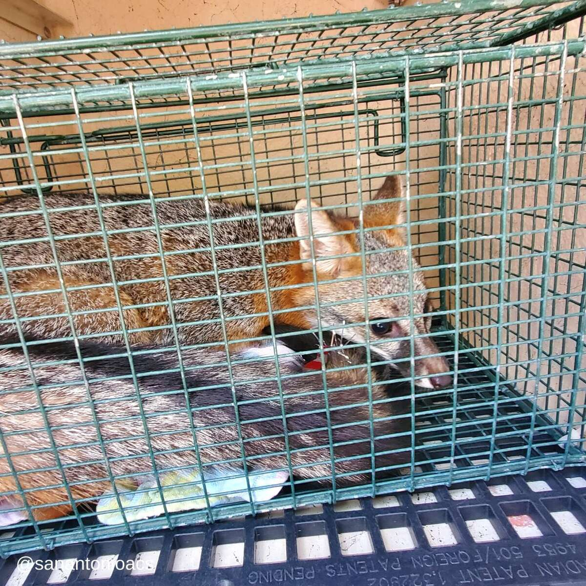 Animal Care Services officers rescued a fox that was found perched on top of a cabinet in an office at San Antonio College last week.