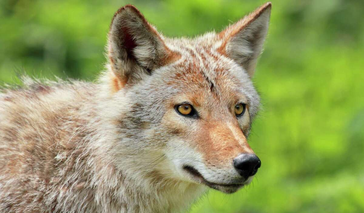 The coyote (Canis latrans) makes just about all of North America his home. That goes for the wild as well as suburban and even urban habitats, including the side of a dirt road in South Texas.