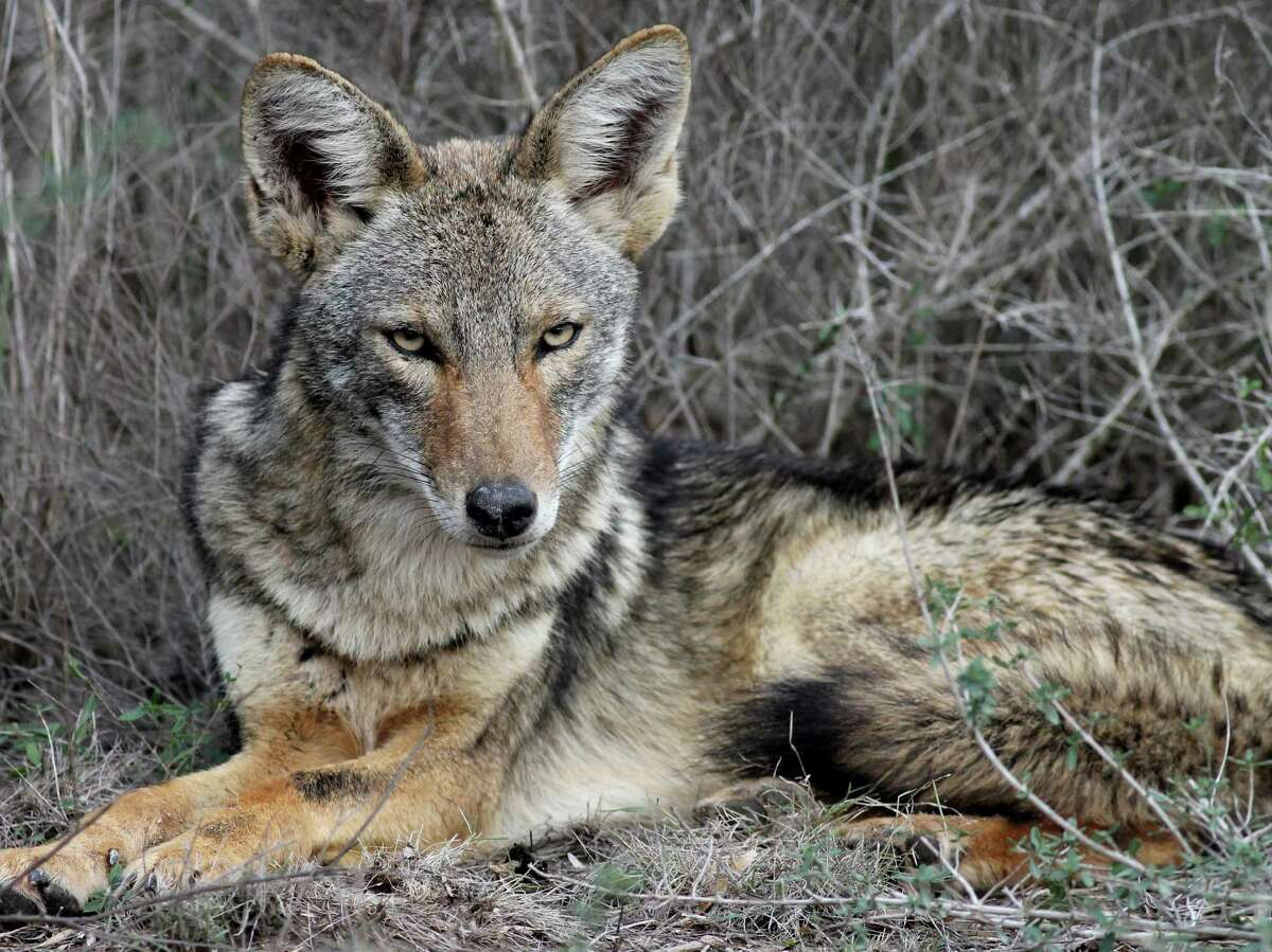 The coyote may look like a wolf, but he's actually smaller and lighter-colored.