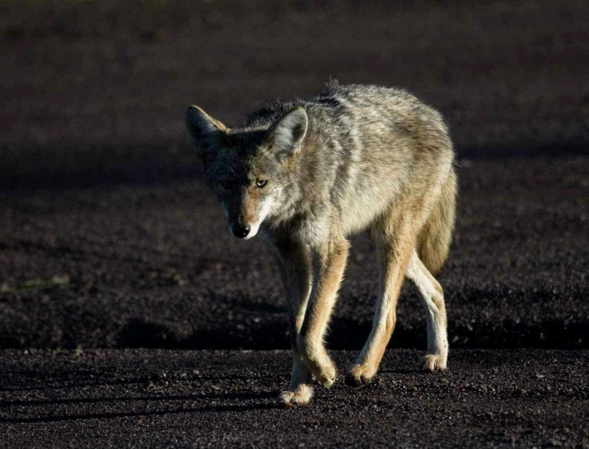 The coyote is an opportunistic carnivore that's active day and night.