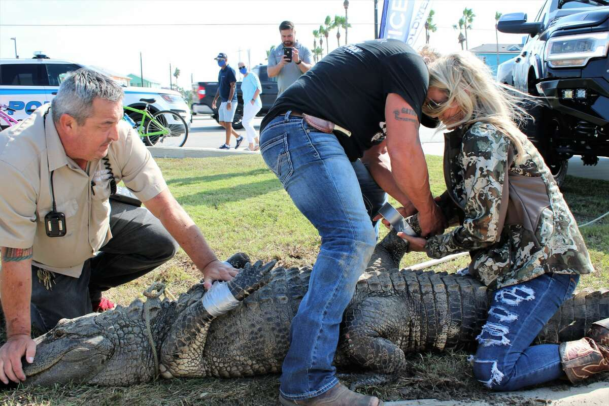 Port Aransas called in experts to remove a 10-foot male alligator hanging out at a creek near a Dollar Store over concerns that it was too comfortable with humans.