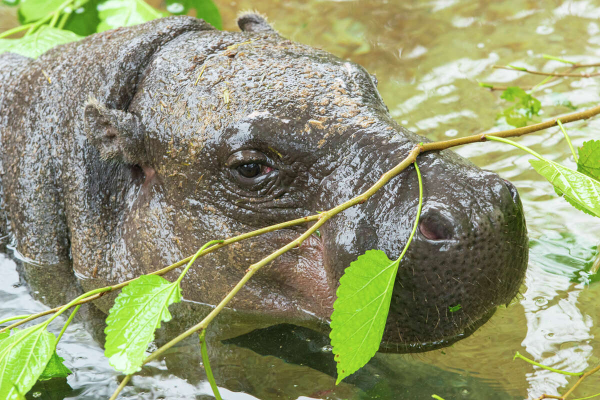 Pygmy hippos are much smaller than their cousin, the common hippopotamus, which can reach up to 4,000 pounds.