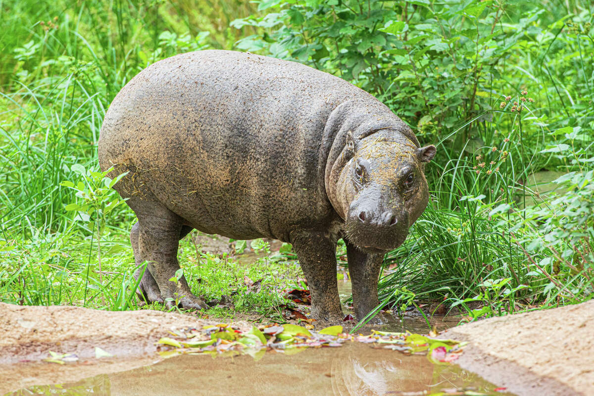 The Houston Zoo has welcomed a pygmy hippopotamus named Silas.