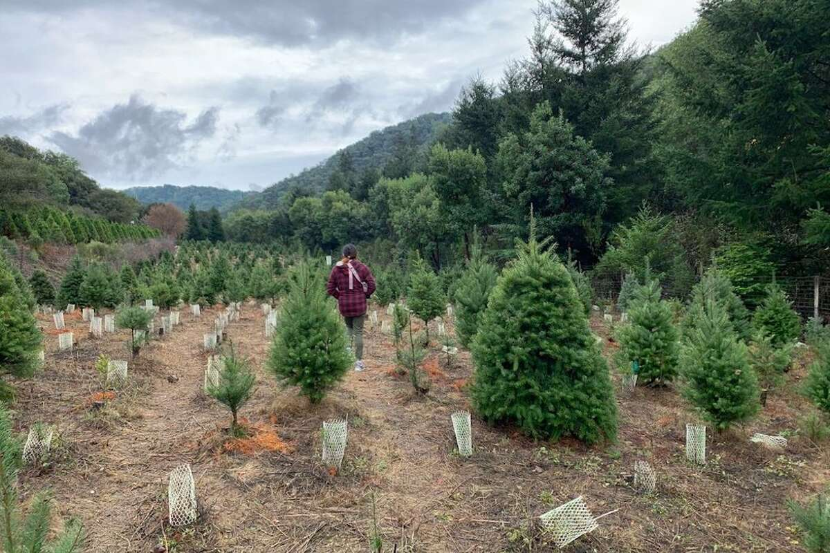Cut your own Christmas trees in the Bay Area.