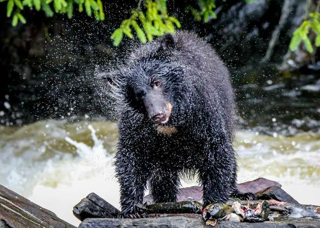 """Black bear fishing andshaking off the water after swimming for fish in the river.  The population of Black bears in the state is expanding and there has been an increasing amount of encounters in residents' backyards, according to DEEP's Wildlife Division. The main recommendation to keep them away is to remove any food, such as bird feeders, pet food or garbage.   If you see a bear, it is best to observe it from a distance and make noise by shouting or waving your arms, according to DEEP's Wildlife Division.  It is also recommended that you do not run away from them. Instead, if you want to remove yourself from the situation, you should slowly walk away. """"Sometimes, even if the animal doesn't mean to do anything bad, it triggers a chase response from them,"""" said Dickinson. Photo: Rebecca Harding/Getty Images / Quail Run Photography"""
