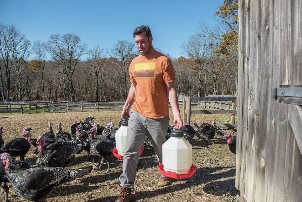 Millstone Farm doubled its turkey flock from 30 last year to 60 for Thanksgiving. The farm raised Broad Breasted Bronze turkeys, a breed with a long history. Farm manager Drew Duckworth prepares to feed the flock. Today's variety, however, is the result of more crossbreeding that began in the early 1900s. Broader-breasted Bronze turkeys were introduced from England to Canada and then the American Northwest. When crossed with larger, faster-growing birds from the States, the result was today's Broad Breasted Bronze, according to the conservancy. Despite continued improvements, by the 1960s this breed fell out of favor with commercial turkey producers, which favored the large, white turkey that filled supermarket freezers and coolers this week. The Bronze continues to be popular among seasonal, small-scale producers. Among those is Millstone Farm, which also raised a flock of 60 spring turkeys that were processed into drumsticks, wings, and ground turkey, all available for purchase at millstonefarm.org.