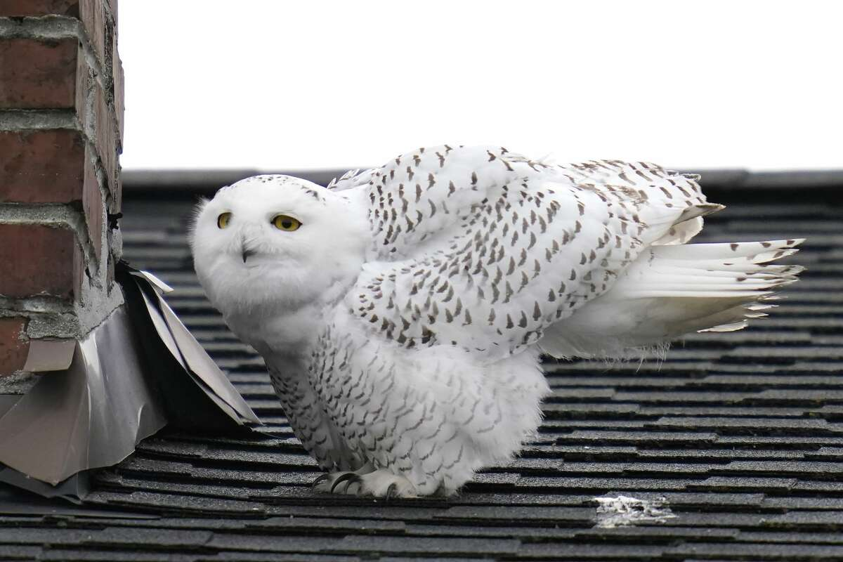 A snowy owl stretches while perched next to a chimney atop a rooftop in a residential neighborhood where it's been seen for over a week, Friday, Nov. 20, 2020, in Seattle. Snowy owls spend summers in the Arctic and many migrate in winter to southern Canada and the northern half of the contiguous United States, though more often in windswept fields or dunes than cities. Snowy owls are the largest by weight North American owl. (AP Photo/Elaine Thompson)