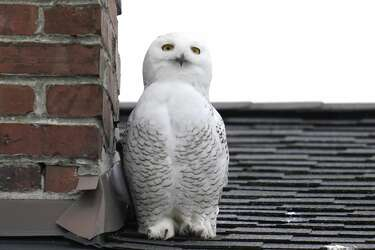 Rare snowy owl perches on rooftops in Seattle's Queen Anne neighborhood,  drawing bird watchers