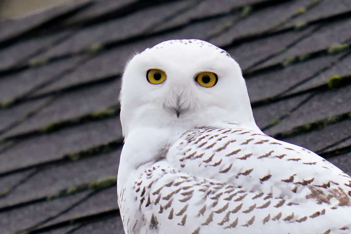 A snowy owl peers out from atop a rooftop in a residential neighborhood where it's been seen for over a week, Friday, Nov. 20, 2020, in Seattle. Snowy owls spend summers in the Arctic and many migrate in winter to southern Canada and the northern half of the contiguous United States, though more often in windswept fields or dunes than cities. Snowy owls are the largest by weight North American owl. (AP Photo/Elaine Thompson)