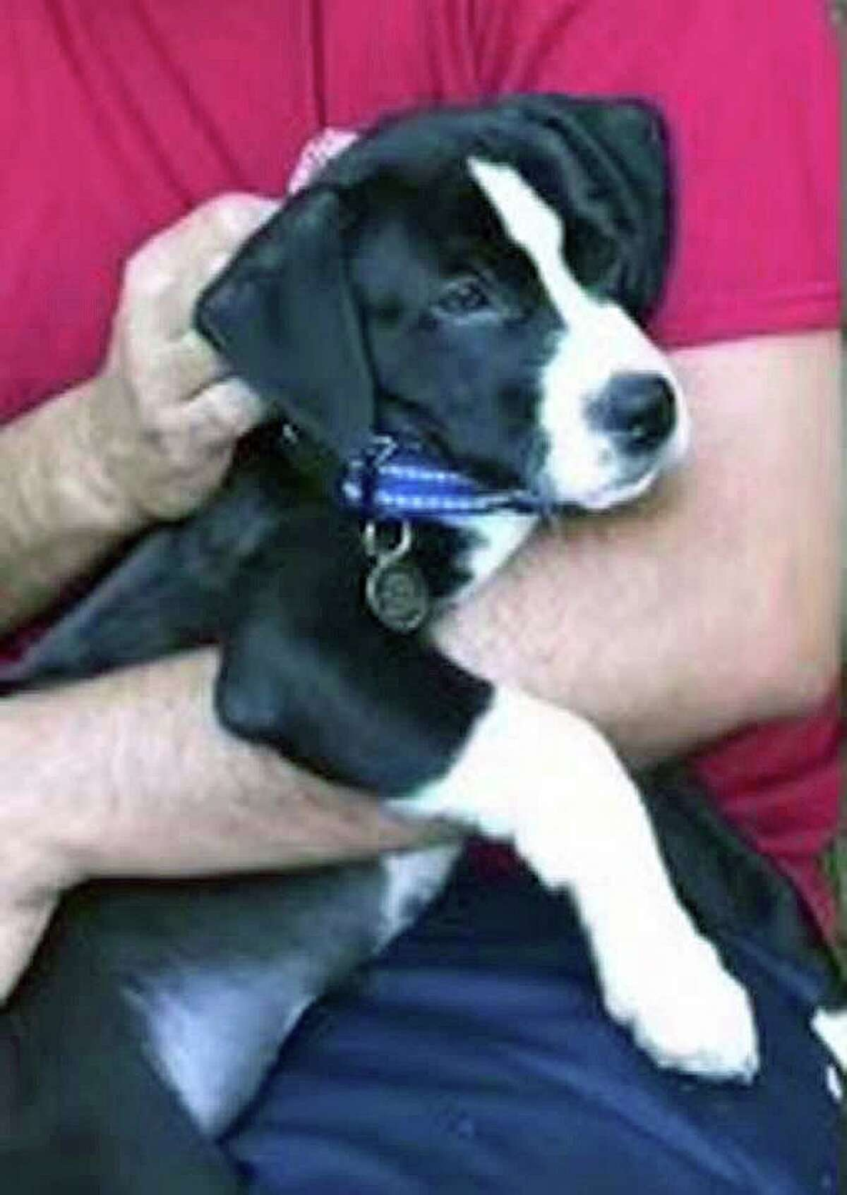 The man hit by the vehicle was walking his puppy at the time. Police said the dog had a brown leash attached to him at the time of the accident. Anyone who sees the puppy is asked to call 860-798-2000.