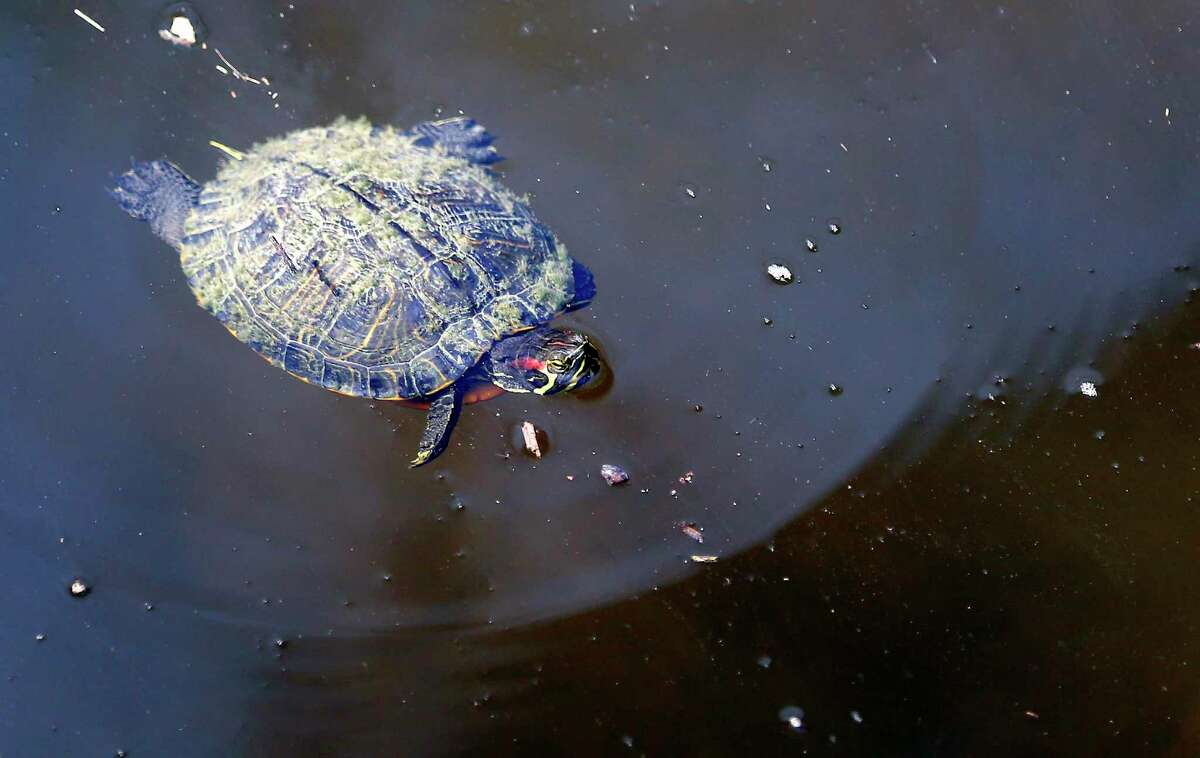 A red eared slider turtle swims in the waters of Olmos Creek in Olmos Basin Park Thursday morning, March 3, 2016.