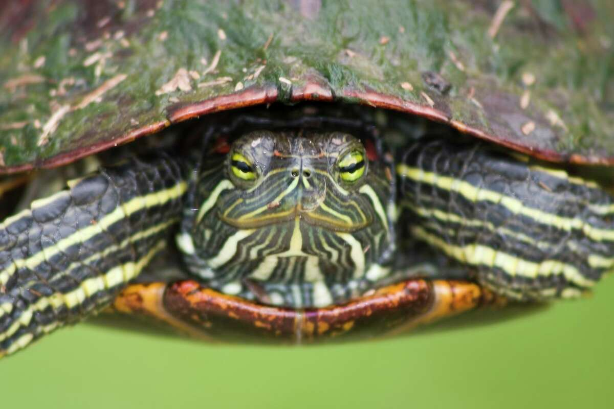 Turtles, like this red-eared slider, are on the move and need our protection. Photo Credit: Kathy Adams Clark. Restricted one-time use.