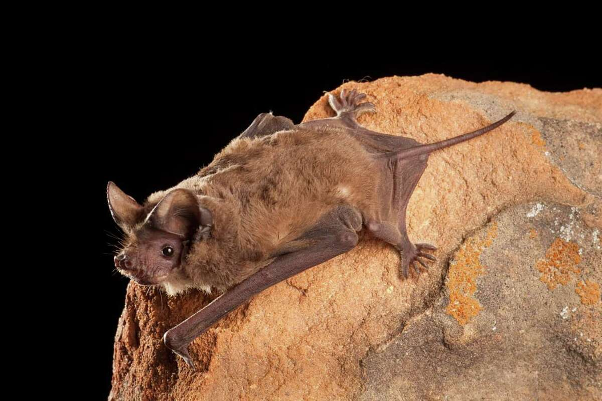 Bats, the only flying mammals, help the environment by pollinating crops and protecting them from insects. You can make your yard appeal to bats by planting native plants and building a bat house. This is a roosting Mexican free-tailed bat.